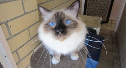 Most beautiful Birman, super handsome Samoss