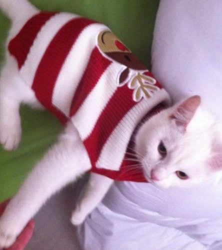 Cats in Xmas Jumpers