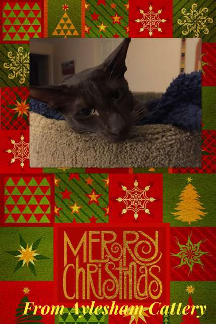 Merry Christmas from Aylesham Cattery
