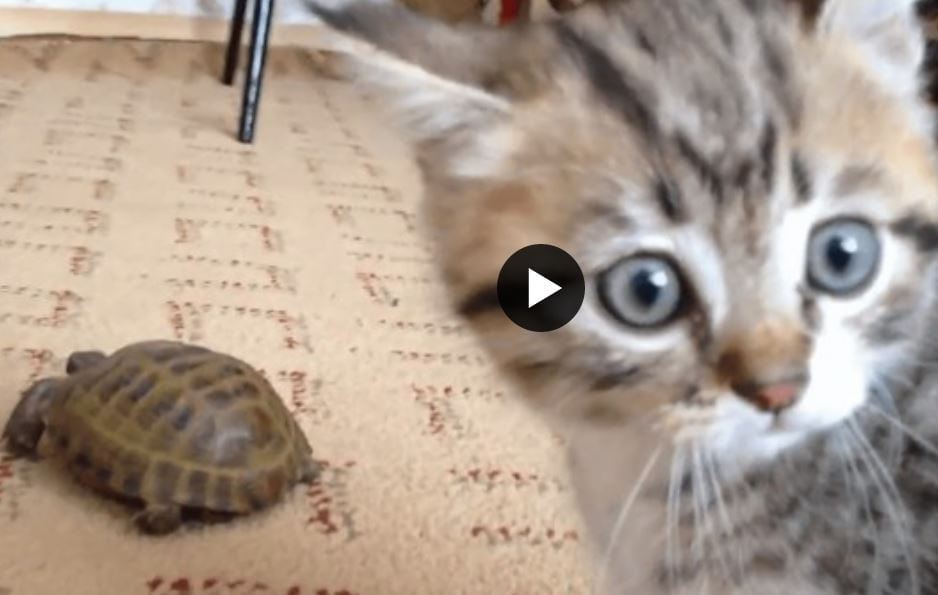Kitten and turtle meet for the first time